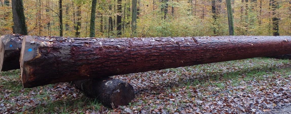 Europäische Lärche - Heimische Holzarten